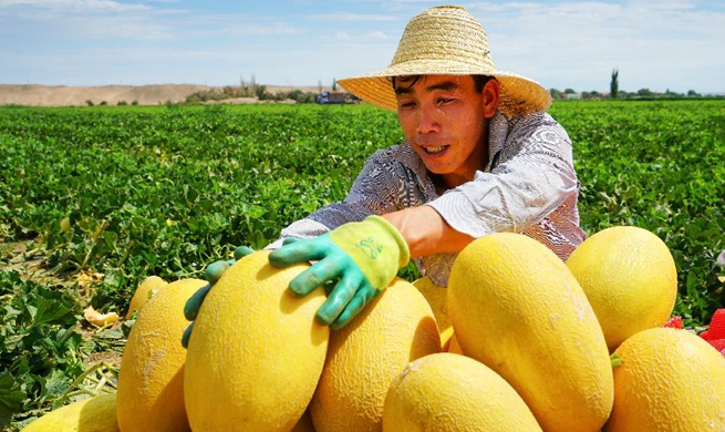 Hami melons harvested in NW China's Xinjiang