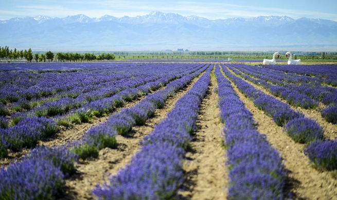 Lavender bloom in Ili River valley, NW China's Xinjiang