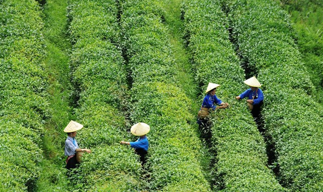 Danzhai County changes tea plantation management mode to promote poverty relief