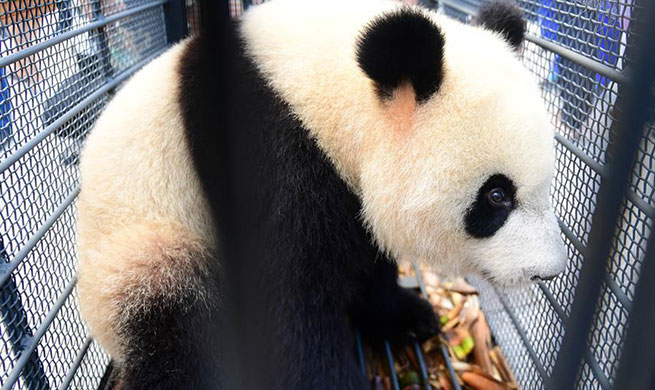 Two giant pandas arrive in NW China's Jilin