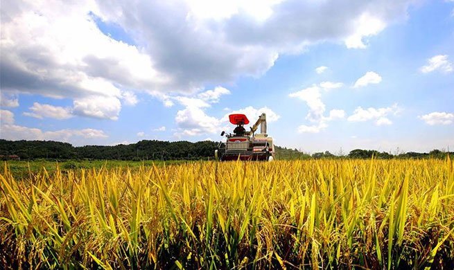 Farmers busy harvesting rice in E China's Jiangxi