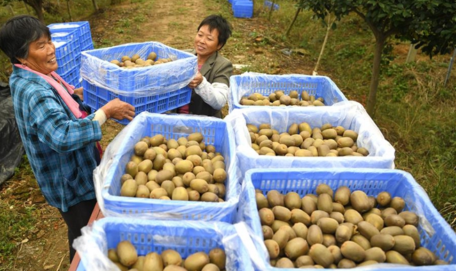 Farmers harvest kiwi fruit in east China's Anhui