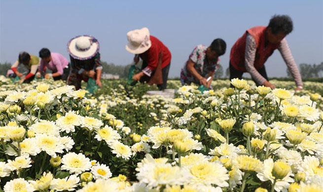 Chrysanthemum flowers harvested across China