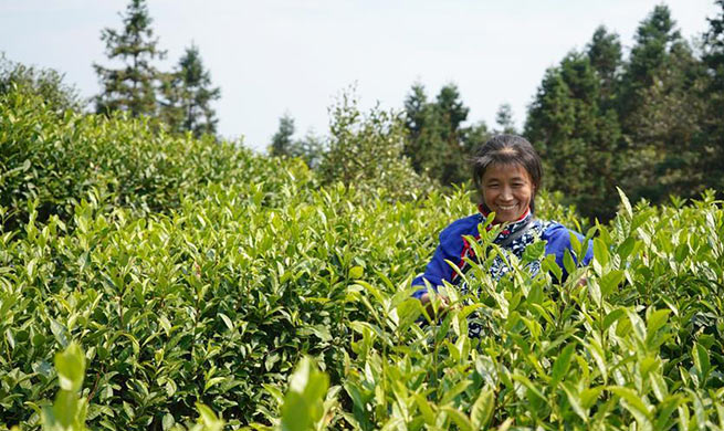 Tea industry helps farmers increase income in Chongyi County, east China's Jiangxi