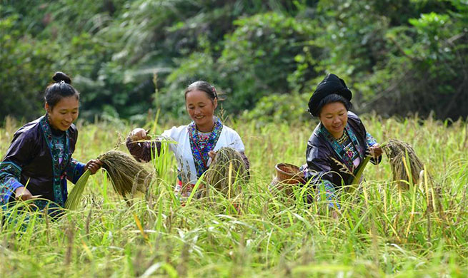 Purple glutinous rice harvested in Dali Village, S China's Guangxi