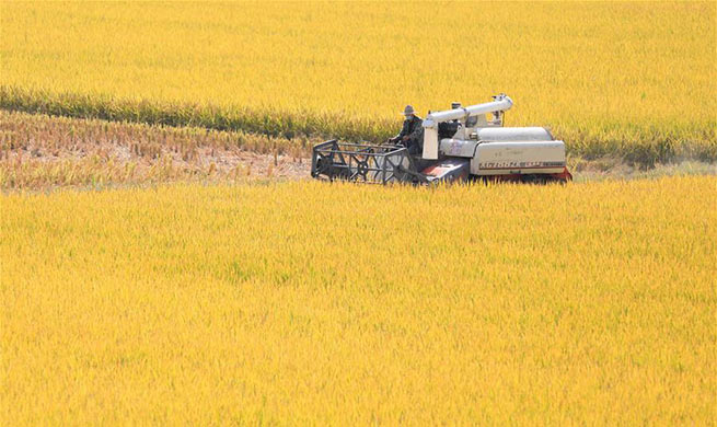 Rice harvested in Xuyi County, E China's Jiangsu