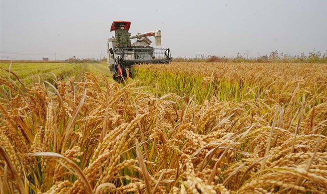 Farmers harvest rice in N China's Hebei