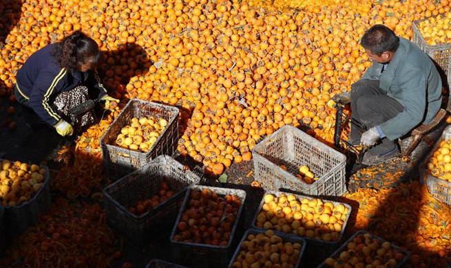 Villagers harvest and process persimmons for sale in China's Hebei