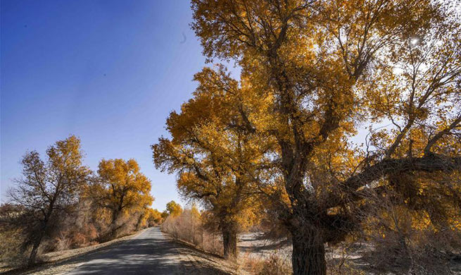 Scenery of desert poplar trees along Tarim River in China's Xinjiang