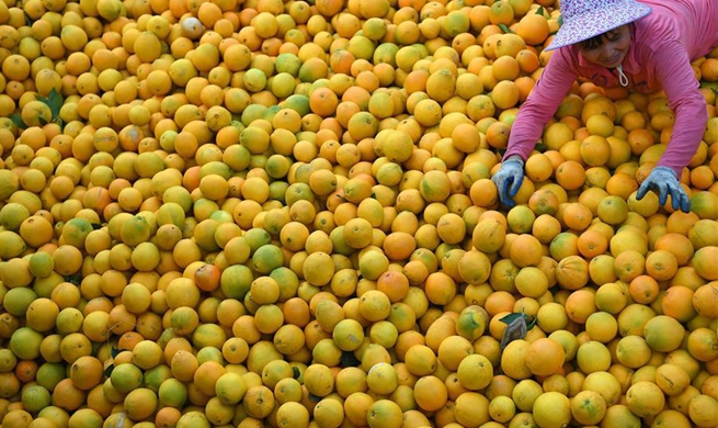 Navel oranges enter harvest season in E China's Jiangxi