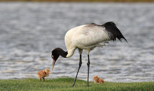 Across China: Endangered cranes welcomed by Tibetans during migration