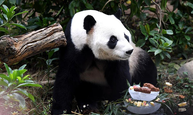 "Panda ""Ming Bang"" celebrates birthday at Liuzhou Zoo"