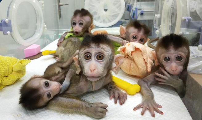 China clones gene-edited monkeys