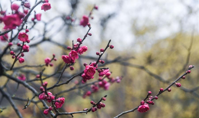 Plum blossom attracts numbers of visitors in east China's Zhejiang