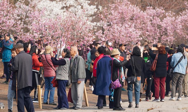 31st cherry blossom cultural event kicks off in Yuyuantan Park in Beijing