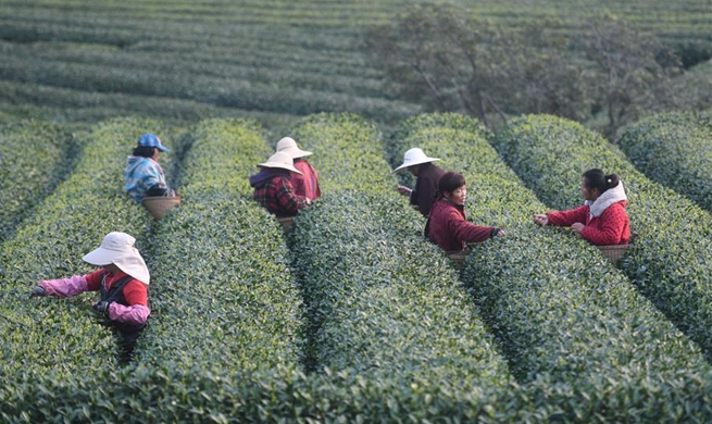 Workers pick tea leaves in Longwucha Village, E China's Zhejiang