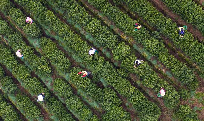 Tea leaves harvested in Suzhou, China's Jiangsu