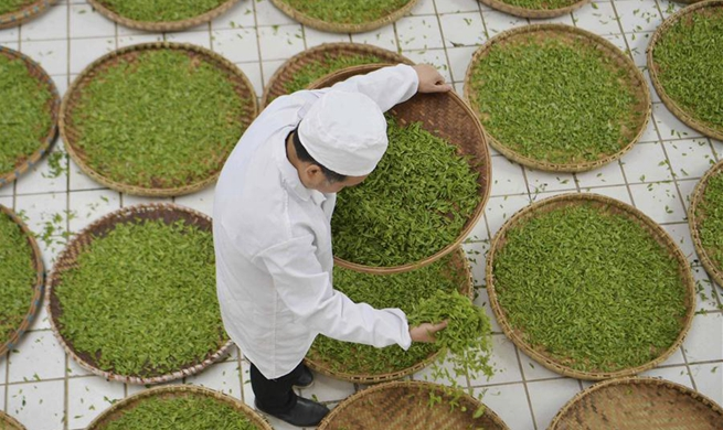 In pics: Lichuan black tea production in central China's Hubei