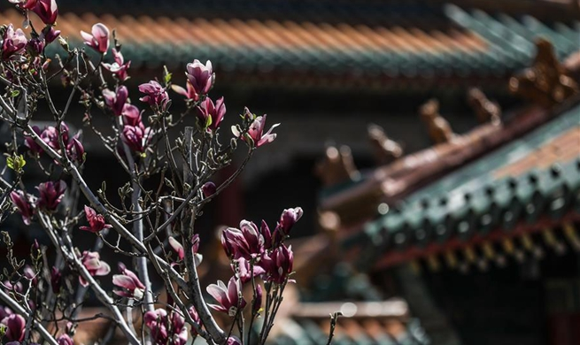 In pics: magnolia flowers at Shenyang Palace Museum