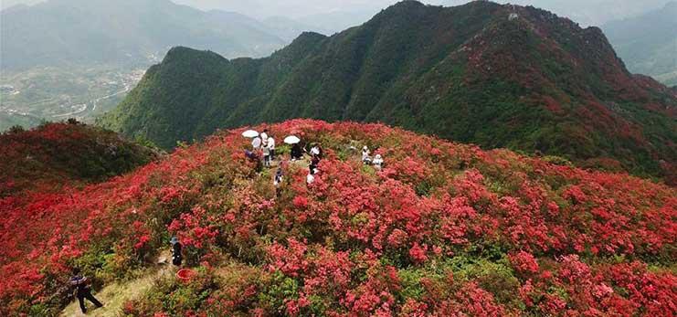 Scenery of blooming azalea flowers in China's Guizhou