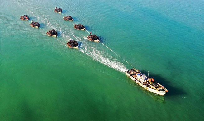 Workers harvest kelps in Rongcheng, E China's Shandong