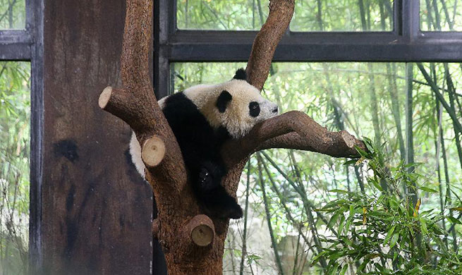 Panda cub named Qiqi at naming ceremony in Shanghai