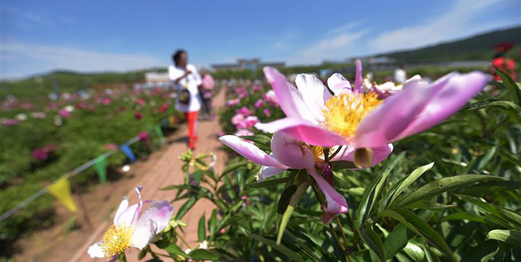 Blossoming Chinese herbaceous peony flowers attract visitors to NE China