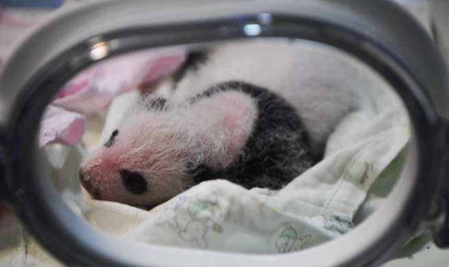Two giant pandas give birth to two pairs of twins at zoo in Chongqing