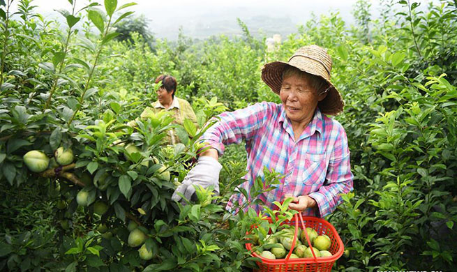Plums harvested in Wuniu Village in SW China's Chongqing