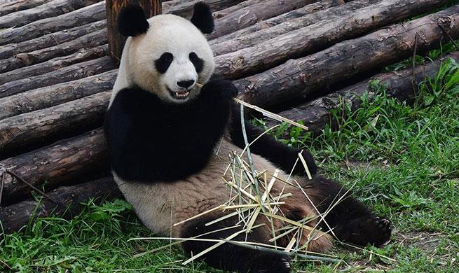 Giant pandas fend off summer heatwave
