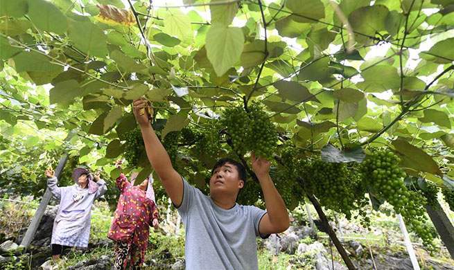 Impoverished households boost their income through grape planting in village of Guangxi