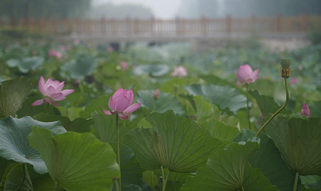 In pics: lotus flower in Xiongan New Area, China's Hebei