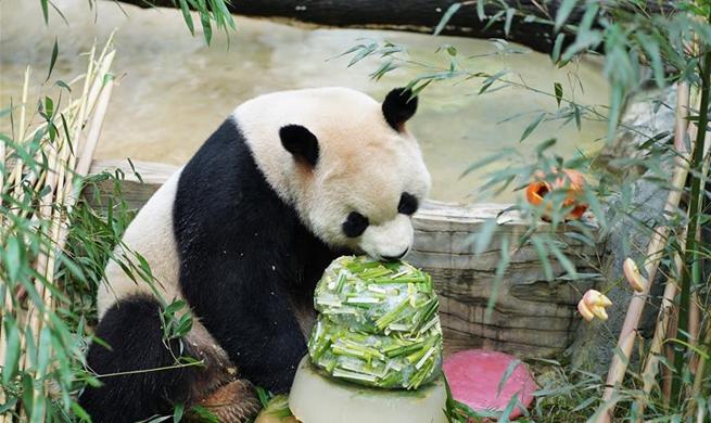 Giant panda Mao Zhu celebrates 5-year birthday