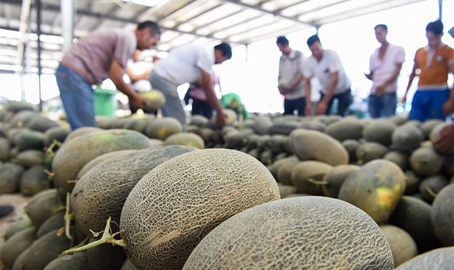 Farmers busy with collecting Jiashi cantaloupes in Kashgar, China's Xinjiang