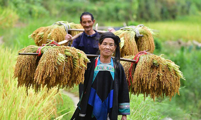 Paddy rice harvested at Wuying, China's Guangxi