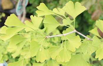 Research reveals the evolutionary history of ginkgo trees