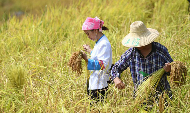 Farmers harvest rice in south China's Guangxi