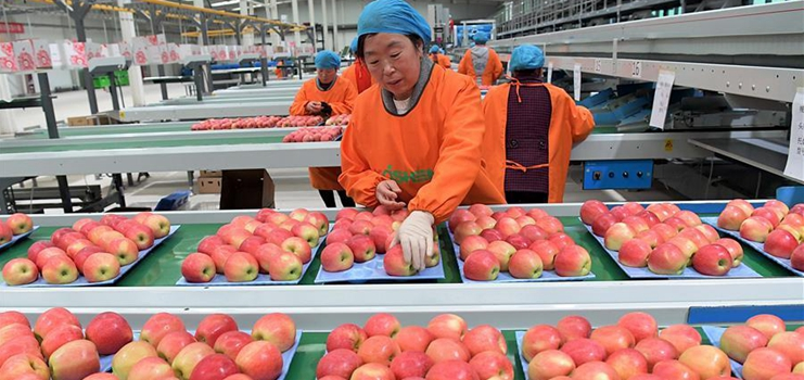 Henan's Luoning County develops apple planting industry to help locals shake off poverty