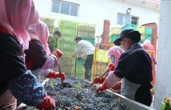 Cheers! Check out grape harvesting and wine making in Gansu