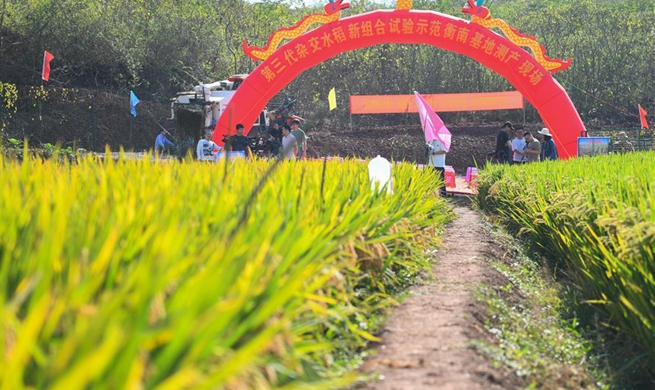 China Focus: Third-generation hybrid rice achieves high yields in China