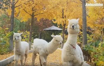 Get up close with alpacas at wildlife park in Beijing