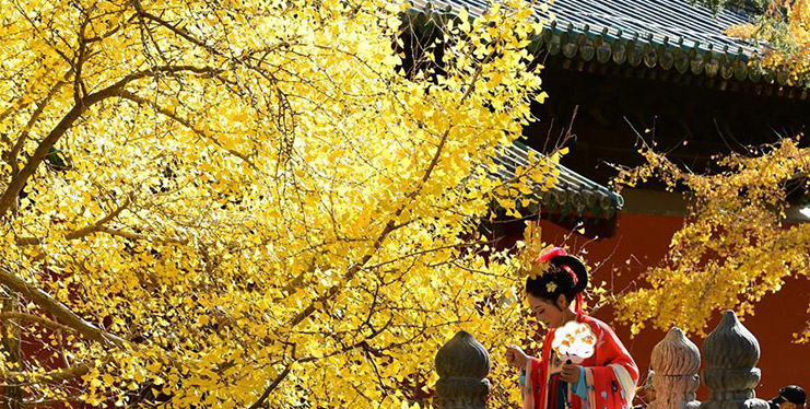 View of ginkgo trees at Dajue Temple in Beijing