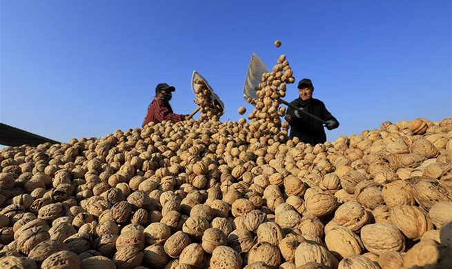 Farmers dry harvested walnuts in N China's Hebei