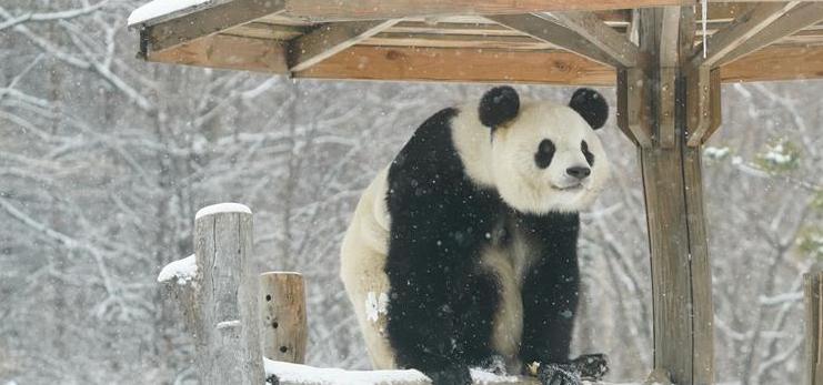 Giant panda enjoys snow in China's Heilongjiang