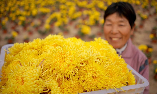 Chrysanthemum planting industry boosts locals' income in China's Hebei