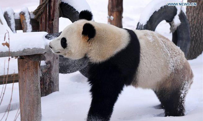 Giant panda enjoys itself outside panda hall after snow in Changchun
