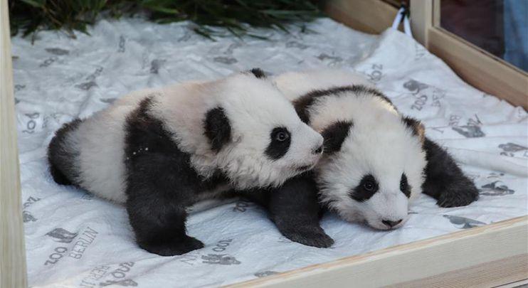 Berlin's twin panda newborns get names