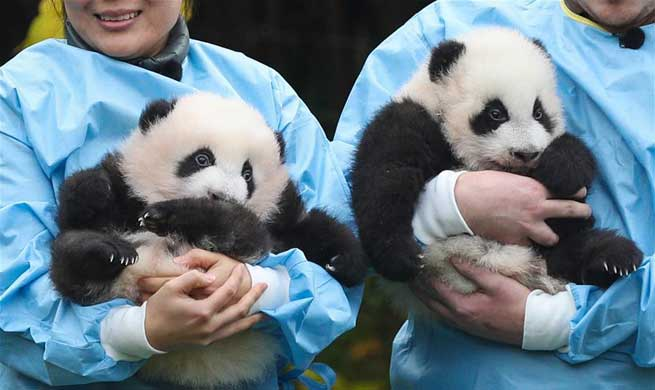 "Two giant pandas born in Belgium win  ""Panda Cub of the Year"" Gold Award"