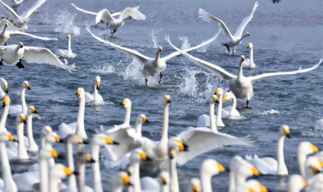 Whooper swans spend winter at nature reserve in Rongcheng City, E China's Shandong