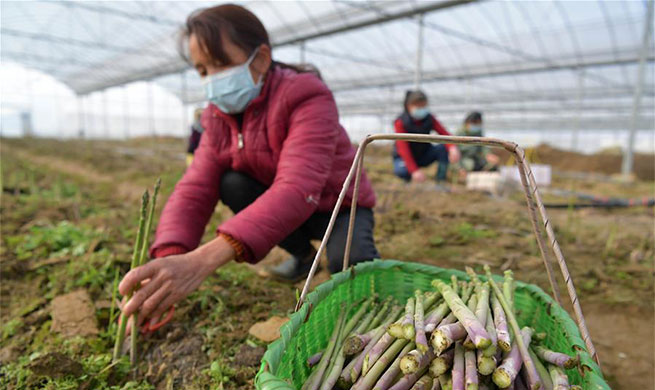 Farmers busy harvesting asparagus in Nanchang, Jiangxi